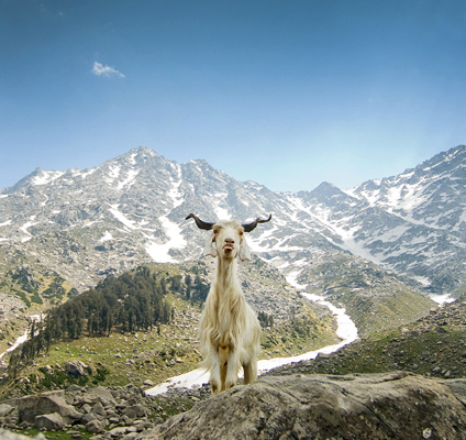 lone_goat_himalayan_mountains